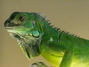 Pet Iguanas
