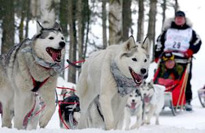 Caring for Alaskan Huskies