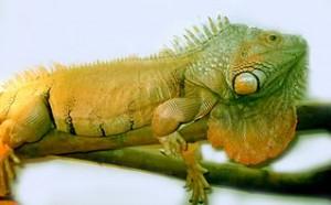 Iguana Health Care