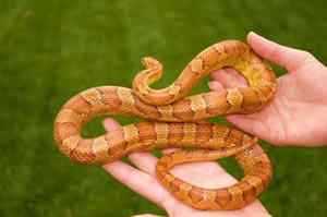 Pet Snakes for Christmas