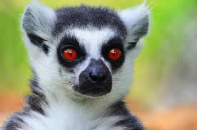 Taking Care Of Pet Lemurs At Home